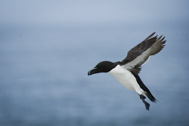 An adult razorbill comes in for a landing blue,Razorbill,action,bill,feathers,feet,flight,fling,flying,landing,legs,ocean,sea background,soft light,striking,stripes,water,white,wings,Alca torda,Chordates,Chordata,Aves,Birds,Alcidae,Auks, Murr
