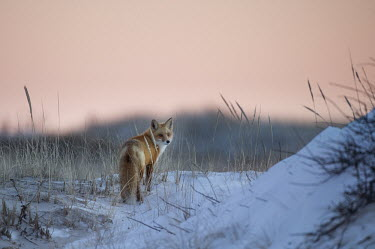 A red fox stands on the top of a snow covered sand dune just after sunset blue,Island Beach State Park,cold,dusk,fox,fur,orange,red fox,snow,white,winter,Red fox,Vulpes vulpes,Chordates,Chordata,Mammalia,Mammals,Carnivores,Carnivora,Dog, Coyote, Wolf, Fox,Canidae,Renard Rou