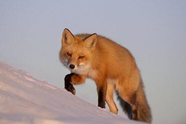 A red fox stalks through the snow as the setting sun shines on its beautiful fur Island Beach State Park,cold,fox,fur,orange,red fox,snow,walking,white,winter,Red fox,Vulpes vulpes,Chordates,Chordata,Mammalia,Mammals,Carnivores,Carnivora,Dog, Coyote, Wolf, Fox,Canidae,Renard Roux,