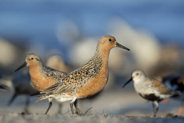 A red knot stands on the sandy beach in the early morning sunlight blue,Delaware Bay,Dunlin,New Jersey,Red Knot,sandpiper,beach,bright,colourful,crowded,orange,sunny,tan,water,white,Red knot,Calidris canutus,Chordates,Chordata,Ciconiiformes,Herons Ibises Storks and V