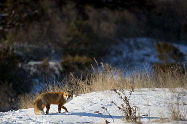 A red fox stands in snow on the top of a beach sand dune with tall brown grasses around it cold,fox,fur,grasses,orange,red fox,scenic,snow,sunny,walking,white,winter,Red fox,Vulpes vulpes,Chordates,Chordata,Mammalia,Mammals,Carnivores,Carnivora,Dog, Coyote, Wolf, Fox,Canidae,Renard Roux,Zor