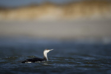 A red-throated Loon swims in the blue ocean on a bright sunny day with a sandy beach and dunes in the background loon,Red-Throated Loon,beach,bright,dune,dunes,eye,grey,red,scenic,sunny,swimming,water level,white,bird,birds,Animalia,Chordata,Aves,Gaviiformes,Gaviidae,Gavia stellata,Red-throated loon,Ciconiiforme