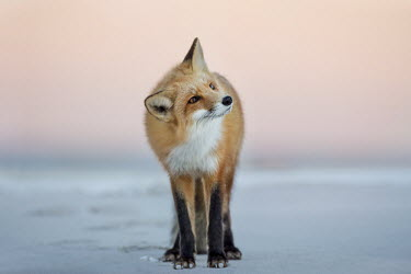 A red fox turns its head to the side as it stands on the beach in the soft dusk light Island Beach State Park,cold,dusk,fox,fur,orange,red fox,white,winter,Red fox,Vulpes vulpes,Chordates,Chordata,Mammalia,Mammals,Carnivores,Carnivora,Dog, Coyote, Wolf, Fox,Canidae,Renard Roux,Zorro Ro
