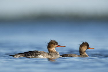 A pair of  red-breasted mergansers swim on the calm blue water on a bright sunny day blue,Red-Breasted Merganser,Waterfowl,brown,duck,female,hen,male,orange,sunny,swimming,water,water level,white,Red-breasted merganser,Mergus serrator,Ducks, Geese, Swans,Anatidae,Anseriformes,Chordate