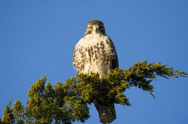 A red-tailed hawk stares directly at the camera while perched on a green branch with a bright blue sky background blue,blue Sky,Red-tailed hawk,hawk,bird of prey,raptor,bird,birds,bright,brown,early,eyes,green,juniper,morning,perched,stare,sunlight,sunny,white,Buteo jamaicensis,Falconiformes,Hawks Eagles Falcons