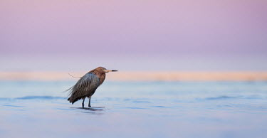 A reddish Egret stands in shallow water at dawn with pink and purple colours in the background sky Reddish Egret,cyan,dawn,early,morning,pink,purple,red,turquoise,water,water level,Egretta rufescens,Reddish egret,Chordates,Chordata,Herons, Bitterns,Ardeidae,Aves,Birds,Ciconiiformes,Herons Ibises St