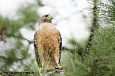 A red-shouldered hawk sits perched in a pine tree Red-shouldered hawk,hawk,bird of prey,raptor,bird,birds,alert,brown,green,orange,overcast,perched,pine needles,pine tree,red,soft light,white,Buteo lineatus,Falconiformes,Hawks Eagles Falcons Kestrel,