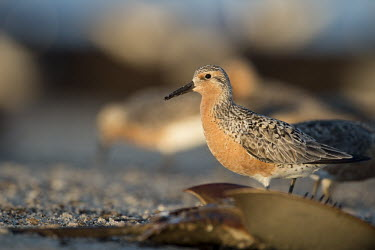 A red knot stands on the beach behind a flipped over horseshoe Crab in the early morning sunlight blue,Red Knot,sandpiper,beach,brown,early,horseshoe crab,morning,orange,sand,sunlight,white,Red knot,Calidris canutus,Chordates,Chordata,Ciconiiformes,Herons Ibises Storks and Vultures,Aves,Birds,Char