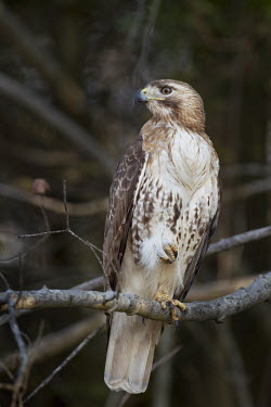 A red-tailed hawk sits on a branch with one foot raised in very soft flattering light Red-tailed hawk,hawk,bird of prey,raptor,bird,birds,brown,feet,perched,tree,white,Buteo jamaicensis,Falconiformes,Hawks Eagles Falcons Kestrel,Aves,Birds,Chordates,Chordata,Ciconiiformes,Herons Ibises