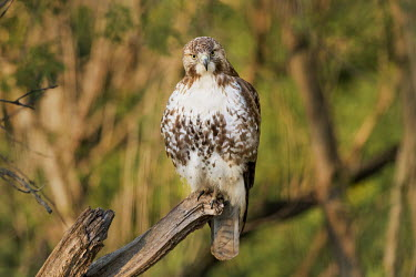 A red-tailed hawk stares right at the camera as it is perched on an old tree branch in the morning light Red-tailed hawk,hawk,bird of prey,raptor,bird,birds,brown,morning,perched,perched log,stare,sunlight,sunny,tree,white,Buteo jamaicensis,Falconiformes,Hawks Eagles Falcons Kestrel,Aves,Birds,Chordates,