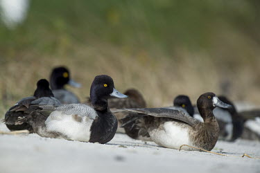 A small flock of lesser scaup ducks rest on a sandy beach in the soft sunlight with a green grassy background bird,birds,duck,ducks,scaup,Lesser Scaup,Waterfowl,beach,brown,drake,eye,female,grass,grey,green,hen,male,resting,sand,sitting,soft light,sunny,white,Lesser scaup,Aythya affinis,Aves,Birds,Chordates,C