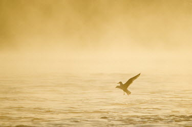 A ring-billed gull flies just over the water as the morning fog glows yellow and orange in the early morning sun Ring-billed gull,gull,bird,birds,seabird,Animalia,Chordata,Aves,Charadriiformes,Laridae,Larus delawarensis,Silhouette,brown,feet,flying,fog,foggy,morning,orange,sunny,water,white,wings,BIRDS,Ring-Bill