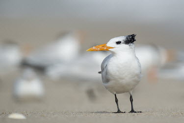 A royal tern stands on a sandy beach with a flock of other terns in the background on a sunny day tern,seabirds,bird,birds,gull,beach,bright,feathers,flock,grey,orange,sand,sandy,standing,sunny,white,Royal tern,Sterna maxima,Charadriiformes,Shorebirds and Terns,Laridae,Gulls, Terns,Chordates,Chord