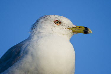 A close portrait of a ring-billed gull on a sunny day with a bright blue sky background blue,blue Sky,Portrait,Ring-billed gull,gull,bird,birds,seabird,Animalia,Chordata,Aves,Charadriiformes,Laridae,Larus delawarensis,bill,close,close-up,eye,feathers,grey,orange,sunny,white,BIRDS,Blue,Bl