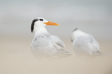 A royal tern stands on a beach with a smooth foreground and background in soft overcast light beach,bill,grey,orange,overcast,sand,smooth background,soft foreground,soft light,Royal tern,Sterna maxima,Charadriiformes,Shorebirds and Terns,Laridae,Gulls, Terns,Chordates,Chordata,Aves,Birds,Cicon