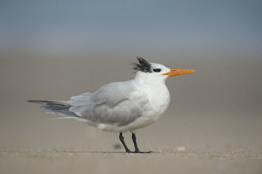 A royal tern stands on a sandy beach with a smooth background and soft sunny light blue,Portrait,tern,seabirds,bird,birds,gull,beach,close,grey,orange,sand,soft light,standing,white,Royal tern,Sterna maxima,Charadriiformes,Shorebirds and Terns,Laridae,Gulls, Terns,Chordates,Chordata