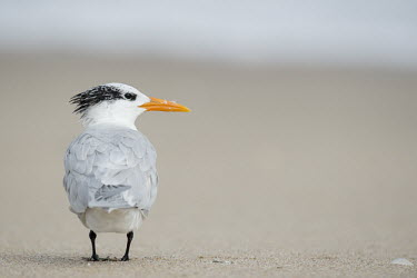 A royal tern stands on a sandy beach tern,seabirds,bird,birds,gull,beach,bill,feathers,feet,grey,orange,sand,shell,soft light,white,Royal tern,Sterna maxima,Charadriiformes,Shorebirds and Terns,Laridae,Gulls, Terns,Chordates,Chordata,Ave