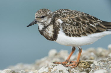 A close up portrait of a ruddy turnstone on a jetty in soft overcast light blue,Portrait,Ruddy turnstone,shorebird,bird,birds,coast,coastal,sandpiper,brown,feathers,grey,jetty,orange,overcast,pattern,rock,smooth background,soft light,texture,white,Arenaria interpres,Sandpipe