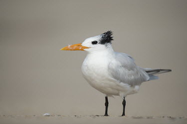 A royal tern stands on a sandy beach with a smooth background and soft sunny light Portrait,tern,seabirds,bird,birds,gull,beach,close,feathers,grey,orange,sand,soft light,standing,white,Royal tern,Sterna maxima,Charadriiformes,Shorebirds and Terns,Laridae,Gulls, Terns,Chordates,Chor