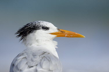 A close up portrait of a royal tern showing off its large orange bill in soft overcast light blue,Portrait,tern,seabirds,bird,birds,gull,close,detail,feathers,grey,orange,overcast,water,white,Royal tern,Sterna maxima,Charadriiformes,Shorebirds and Terns,Laridae,Gulls, Terns,Chordates,Chordata