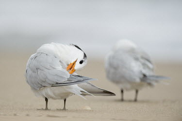 A royal tern bends its head to its back to clean off its wings while standing on a sandy beach tern,seabirds,bird,birds,gull,beach,bending,cleaning,feet,grey,orange,overcast,preening,reaching,sand,sandy,soft light,white,Royal tern,Sterna maxima,Charadriiformes,Shorebirds and Terns,Laridae,Gulls