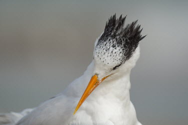 A royal tern tips its head down while preening and cleaning its feathers on a beach Portrait,tern,seabirds,bird,birds,gull,beach,close,grey,orange,preening,soft light,white,Royal tern,Sterna maxima,Charadriiformes,Shorebirds and Terns,Laridae,Gulls, Terns,Chordates,Chordata,Aves,Bird
