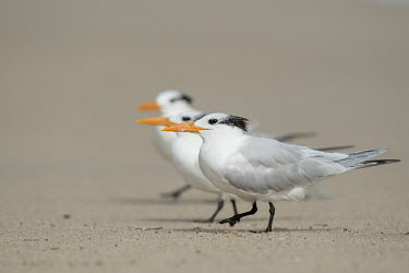 A trio of royal terns walk along on a sandy beach on a bright sunny day tern,seabirds,bird,birds,gull,action,beach,feathers,feet,grey,group,orange,sand,sandy,trio,walking,white,Royal tern,Sterna maxima,Charadriiformes,Shorebirds and Terns,Laridae,Gulls, Terns,Chordates,Ch