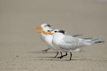 A trio of royal terns walk along on a sandy beach on a bright sunny day tern,seabirds,bird,birds,gull,action,beach,feathers,feet,grey,group,orange,sand,sandy,trio,walking,white,Royal tern,Sterna maxima,Charadriiformes,Shorebirds and Terns,Laridae,Gulls, Terns,Chordates,Ch
