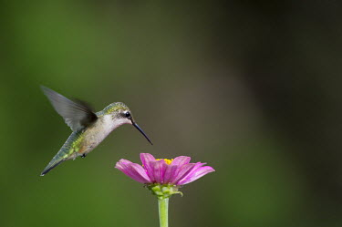A female ruby-throated hummingbird hovers over this bright pink Zinnia flower while feeding hummingbird,Ruby-throated hummingbird,bird,birds,fast,feeding,female,flower,flying,green,hovering,motion,movement,pink,soft light,white,wings,zinnia,Archilochus colubris,Hummingbirds,Trochilidae,Aves,