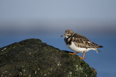 A ruddy turnstone climbs up the side of a seaweed covered jetty rock blue,Ruddy turnstone,shorebird,bird,birds,coast,coastal,sandpiper,boulder,brown,feet,green,jetty,legs,orange,rock,walking,water,white,Arenaria interpres,Sandpipers, Phalaropes,Scolopacidae,Chordates,C
