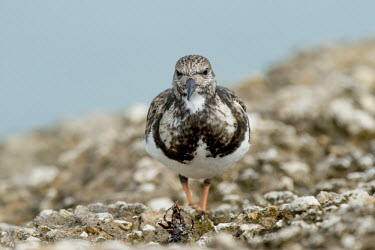 A ruddy turnstone head on while standing on a light rock jetty in soft overcast light Portrait,Ruddy turnstone,shorebird,bird,birds,coast,coastal,sandpiper,brown,feathers,grey,jetty,orange,overcast,pattern,rock,smooth background,soft light,texture,white,Arenaria interpres,Sandpipers, P