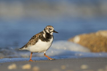 A ruddy turnstone walks along the Delaware Bay beach in the early morning sunlight on a clear spring day blue,Delaware Bay,Ruddy turnstone,shorebird,bird,birds,coast,coastal,sandpiper,beach,brown,early,morning,orange,sand,sunlight,walking,water,white,Arenaria interpres,Sandpipers, Phalaropes,Scolopacidae
