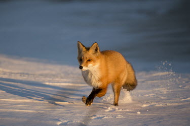 A red fox runs through the snow as the setting sun shines on its orange fur blue,Island Beach State Park,cold,fox,fur,orange,red fox,running,snow,white,winter,Red fox,Vulpes vulpes,Chordates,Chordata,Mammalia,Mammals,Carnivores,Carnivora,Dog, Coyote, Wolf, Fox,Canidae,Renard