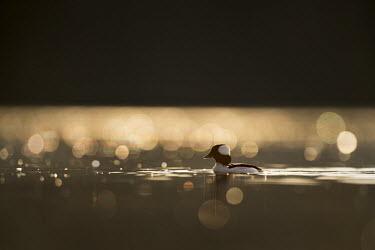 A drake bufflehead floats lazily along on the calm water as the sun rises behind it bufflehead,birds,duck,ducks,Animalia,Chordata,Aves,Anseriformes,Anatidae,Bucephala albeola,Waterfowl,backlight,bokeh,drake,dramatic,early,male,morning,sparkle,sunny,sunrise,swimming,water,water level,