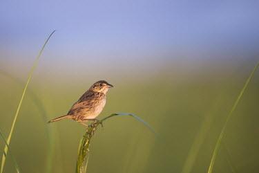 A seaside sparrow perches on the green marsh grasses blue,blue Sky,Seaside sparrow,sparrow,bird,birds,Animalia,Chordata,Aves,Passeriformes,Passerellidae,Ammospiza maritima,Thompson's Beach,brown,early,grass,green,marsh grass,morning,perched,sunny,tan,wh