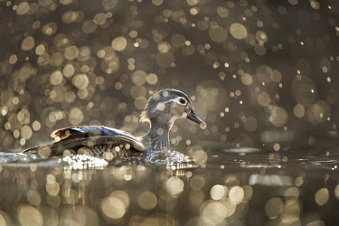A female wood duck floats on the water as a splash of was surrounds her and sparkles in the early morning sunlight glow Waterfowl,Wood Duck,bokeh,brown,duck,female,floating,golden,hen,morning,purple,sparkle,splash,sun,swimming,water drop,water level,white,Wood duck,Aix sponsa,Chordates,Chordata,Aves,Birds,Anseriformes,