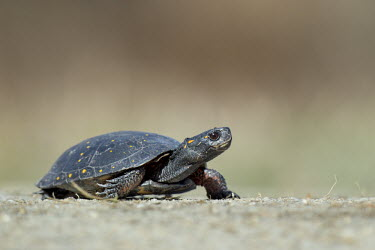 A spotted turtle walks across a sandy road on a bright sunny day turtle,orange,reptile,spots,walking,freshwater,Spotted turtle,Clemmys guttata,Chordates,Chordata,Pond Turtles,Emydidae,Reptilia,Reptiles,Turtles,Testudines,Clemmys,Wetlands,Terrestrial,North America,g