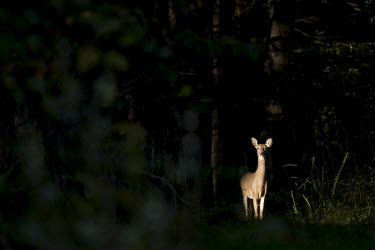 An alert female whitetail deer stands in a spotlight of morning sun surrounded by dark woods alert,brown,dark,deer,doe,dramatic,ears,fur,green,morning,spotlight,staring,sun,trees,watching,white,whitetail deer,woods,White-tailed deer,Odocoileus virginianus,Mammalia,Mammals,Even-toed Ungulates,