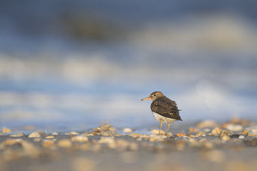 A spotted sandpiper stands on a beach covered with small pebbles in the early morning sunlight Spotted sandpiper,sandpiper,shorebird,bird,birds,beach,bright,brown,morning,orange,pebbles,sand,spring,stones,sunlight,water,white,Animalia,Chordata,Aves,Charadriiformes,Scolopacidae,Actitis maculariu