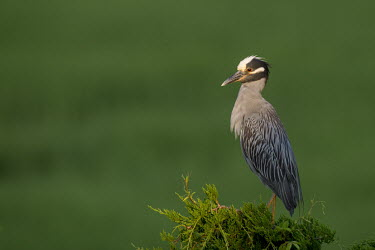 An adult yellow-crowned Night heron stands on top of a pine tree early,grey,green,morning,orange,perched,spotlight,sunlight,tree,Yellow-crowned night-heron,Nyctanassa violacea,Yellow-crowned Night-Heron,Aves,Birds,Chordates,Chordata,Ciconiiformes,Herons Ibises Stor
