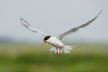 A Forsters tern hovers in the air while it calls loudly in search of small fish in the water below Forsters tern,tern,terns,bird,birds,seabird,shorebird,coastal,coast,calling,claws,depth,feather,feathers,feet,flapping,flight,flying,green,hovering,movement,orange,sky,smooth background,squawk,white,w