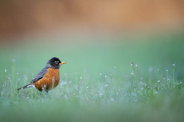 An American robin stands in tall grass as it searches for food on a spring afternoon American Robin,bird,birds,robin,flowers,grass,green,orange,red,shade,small,soft light,standing,white,Turdus migratorius,Perching Birds,Passeriformes,Chordates,Chordata,Turdidae,Thrushes,Aves,Birds,San