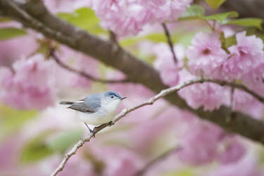A blue-gray gnatcatcher sits perched on a branch in front of a soft pink background of cherry blossom trees in spring blue,blue-Gray Gnatcatcher,Cherry Blossom,flowers,grey,green,overcast,pastel,perched,pink,soft light,stick,white,Animalia,Chordata,Aves,Passeriformes,Polioptilidae,Polioptila caerulea,Blue-grey gnatca