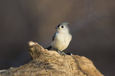 A tufted titmouse perches on a dead tree log in the early morning sunlight Tufted Titmouse,brown,early,feeder,grey,morning,perched,seed,sunlight,tree,white,Baeolophus bicolor,Tufted titmouse,Perching Birds,Passeriformes,Chickadees, Titmice,Paridae,Aves,Birds,Chordates,Chorda