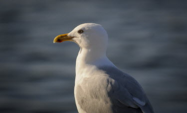 A portrait of a herring gull on a bright sunny day with a smooth grey background Herring Gull,eye,grey,red,sunlight,sunny,white,BIRDS,animal,bird,black,gray,nature,wildlife,yellow