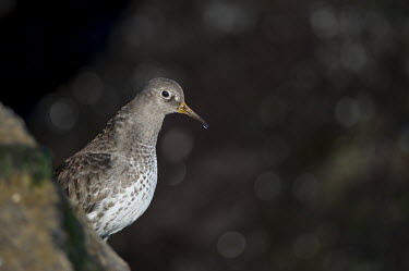 A purple sandpiper stands on a jetty rock with a dark background on a sunny day stretching its neck Purple sandpiper,sandpiper,shorebird,birds,bird,Animalia,Chordata,Aves,Charadriiformes,Scolopacidae,Calidris maritima,bokeh,brown,dark,grey,jetty,looking,neck,orange,rock,stretch,stretching,sunny,whit
