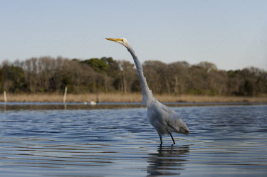 A great egret stalks the shallow water with a spotlight of sun on its head with a scenic background blue sky,egret,bird,birds,wader,scenic,shade,shallow,spotlight,stalking,sunny,trees,wading,water,water level,white,wide angle,Great egret,Casmerodius albus,Ciconiiformes,Herons Ibises Storks and Vultu
