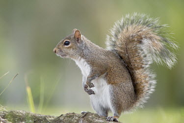 A grey squirrel stands on its hind legs in soft light with its tail curled back and a smooth green background brown,cute,ears,feet,fur,furry,grey,gray squirrel,green,paws,standing,tail,tame,white,Grey squirrel,Sciurus carolinensis,Rodents,Rodentia,Squirrels, Chipmunks, Marmots, Prairie Dogs,Sciuridae,Chordate