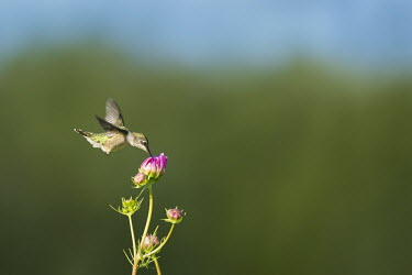 A female ruby-throated hummingbird feeds on a bright pink flower blue Sky,hummingbird,Ruby-throated hummingbird,bird,birds,bright,feeding,feet,female,flower,flying,green,hovering,motion,motion blur,movement,pink,sunny,white,wings,Archilochus colubris,Hummingbirds,T