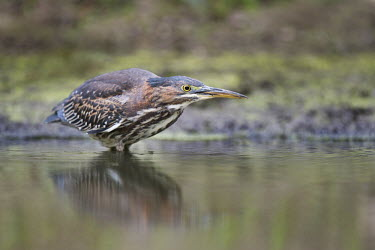 A green heron very intently stalks its prey in the shallow water along the edge of a small pond Green Heron,brown,eye,fishing,green,overcast,reflection,stalking,water level,white,Butorides virescens,Green heron,Chordates,Chordata,Herons, Bitterns,Ardeidae,Ciconiiformes,Herons Ibises Storks and V